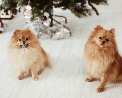 Joey y Phoebe, nuestros Pomeranian V.I.P.