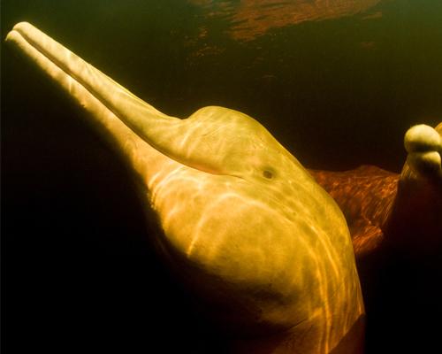 Los delfines de Amazonas, contaminados con mercurio