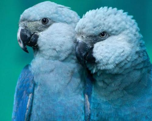 Extinto en su hábitat el guacamayo de la película 'Río'
