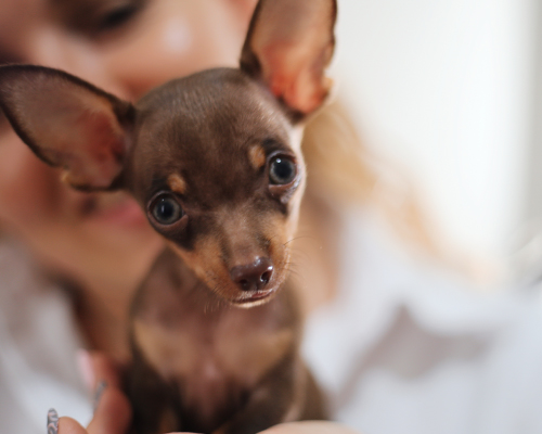 Os presentamos a Lola, nuestra chihuahua V.I.P.