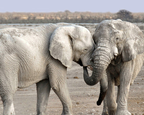 Subastan licencias para cazar elefantes en Botsuana