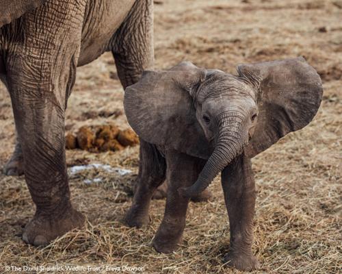 Botsuana aprueba la caza de elefantes