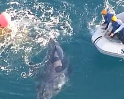 Una cría de ballena, rescatada de una red para tiburones