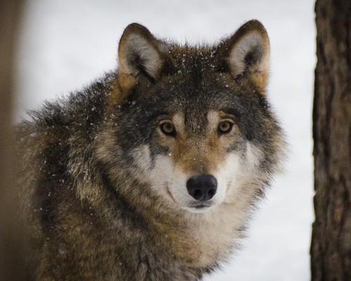 Suspenden temporalmente la caza del lobo de Álava