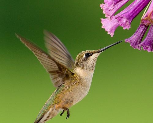 ¿Sabías que… el colibrí es el ave más pequeña que existe?