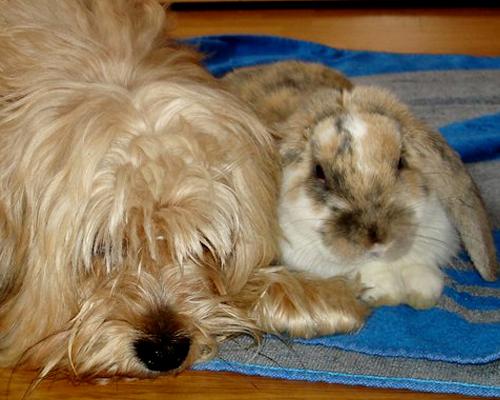 Flopy, un inolvidable conejo Belier que parecía un can