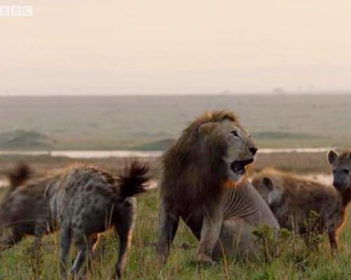 Un león salva a otro de ser devorado por las hienas