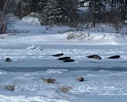 Las focas invaden un pueblo canadiense
