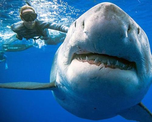 Vuelve el tiburón blanco hembra más grande del mundo