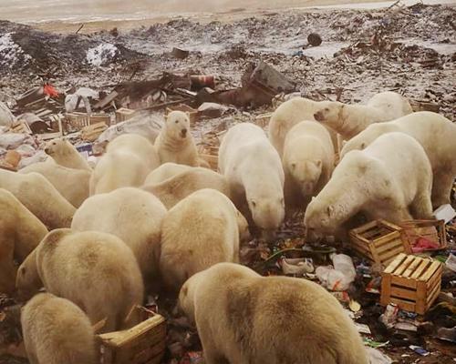 Decenas de osos polares invaden un archipiélago ruso