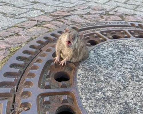 El rescate viral de una rata atrapada por sobrepeso