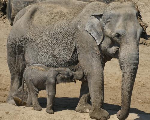 Elefantes asiáticos perderán un 42% de su hábitat