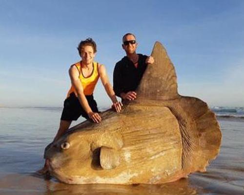 Hallado impresionante pez luna varado en Australia