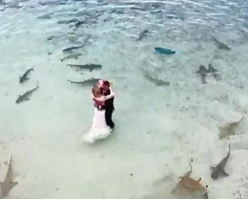 Una sorprendente boda entre tiburones